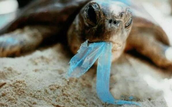 正在进食塑料膜的海龟 图据网络