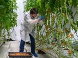 试验表明Fluence的全光谱LED植物照明方案可行